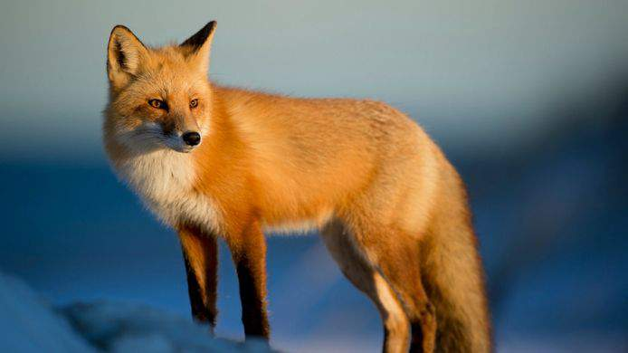 Changes made as York Tories' fox hunting social returns